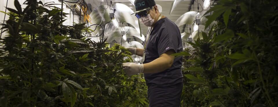 Pot Purveyors Seek Genetic Tweaks as Legal Cannabis Grows