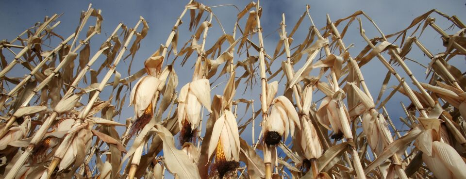 Photo of corn cobs on a farm in Canada.