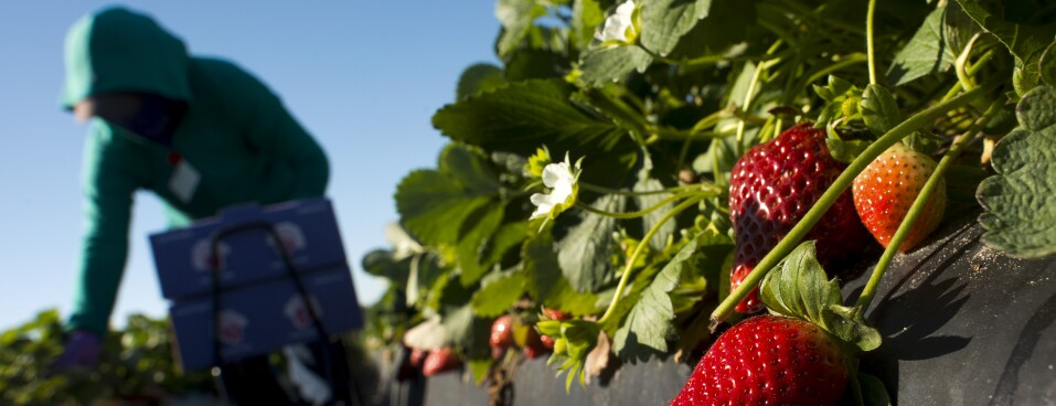 A worker picks fresh strawberries at a Florida farm.