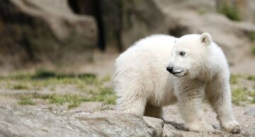 Photo of a baby polar bear at the Berlin Zoo.