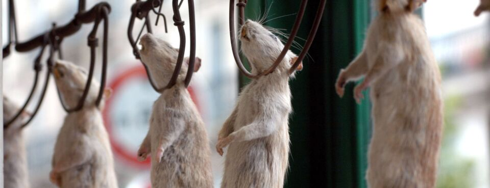 Photo of dead rats in traps at a pest control shop in Paris.