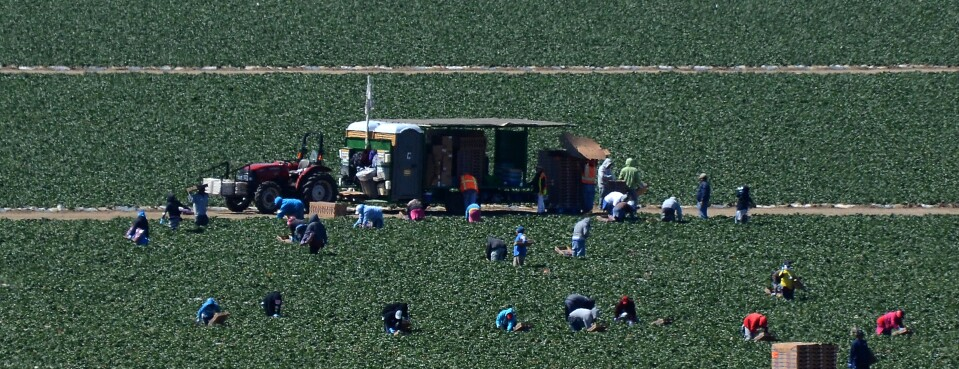 Migrant workers harvest strawberries at a farm near Oxnard, Calif.