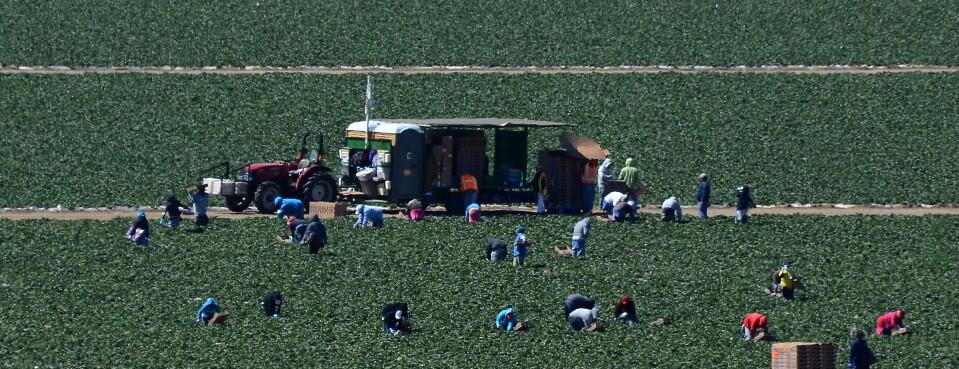 Migrant workers harvest strawberries at a farm near Oxnard, Calif.