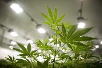 Canopy Growth cannabis