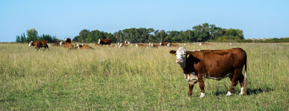 Photo of beef cattle grazing in a pasture in Canada.