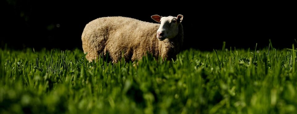 Photo of an East Friesian sheep grazing in a green field.