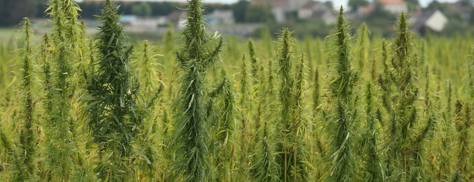 INSIGHT: New USDA Hemp Rule May Propel Production Around the Country