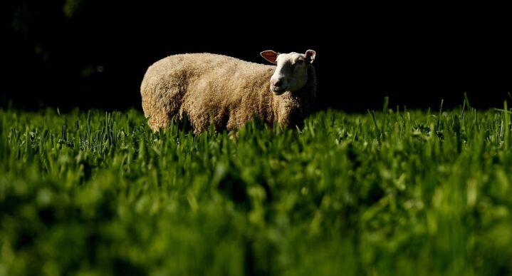 Photo of an East Friesian sheep grazing in a green field.