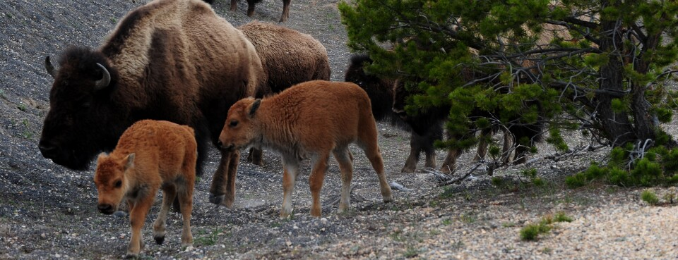 Feds Fend Off Yellowstone Bison Relocation Challenge