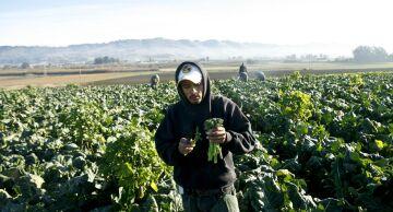 Photo of farmworker picking broccoli in California.
